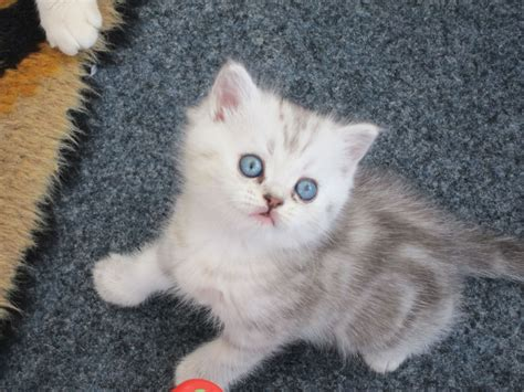 Exotic Persian Kittens For Sale  Bradford, West Yorkshire