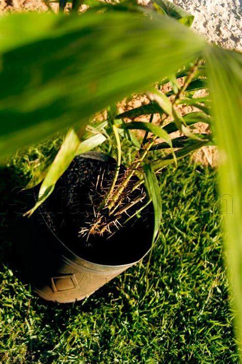 Muda da Palmeira Salacca ou Salak Fruit - Safari Garden