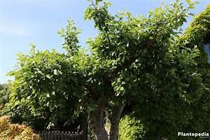 Wann Apfelbaum Pflanzen : wann und wie sie einen apfelbaum schneiden anleitung ~ Lizthompson.info Haus und Dekorationen