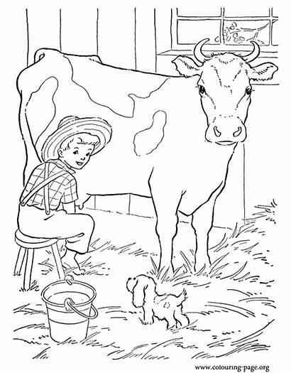Cow Coloring Farm Milking Boy Calf Cows