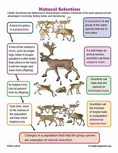 Natural Selection In Caribou