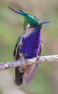 Purple Hummingbird Bird