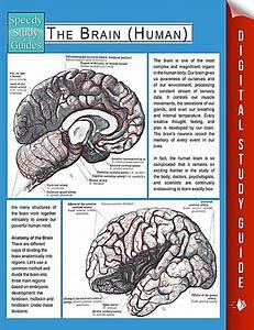 The Brain Human Speedy Study Guides  Ebook Jetzt Bei