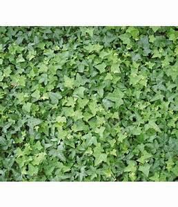 Kletterpflanzen Winterhart Immergrün Schnellwachsend : kletterpflanzen f r einen guten sichtschutz dehner ~ Yasmunasinghe.com Haus und Dekorationen