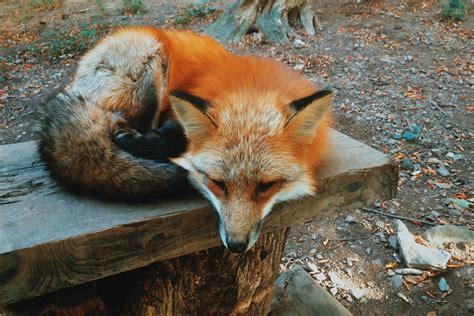 fox village zao japan earth animals taken places ibtimes