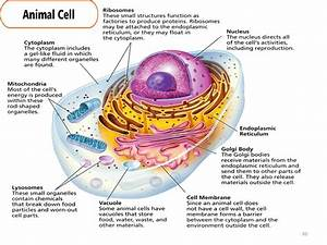 Basic animal cell functions gallery how to guide and refrence basic animal cell structure and function gallery how to ccuart Images