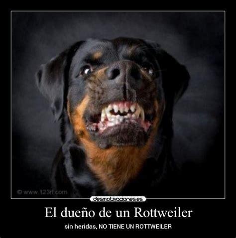 Rottweiler Memes - cute baby pitbull dog hot girls wallpaper