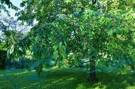 filet protection arbre fruitier filet arbre