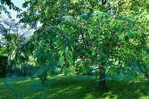 Protection Arbres Fruitiers : protection des cerises ma passion du verger ~ Premium-room.com Idées de Décoration