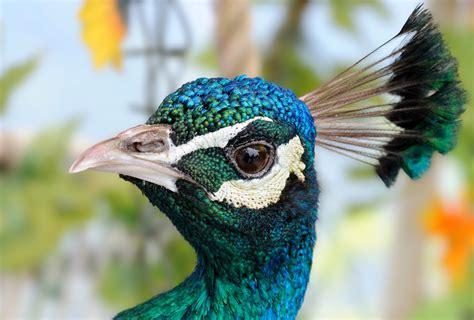 Raising Peacocks 5 Steps You Need To Know To Keep Peafowl