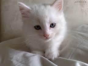 white cats deaf white kitten spot