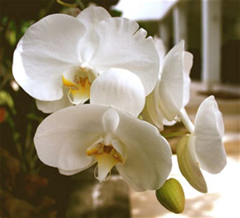 orchids rebloom how can i make my just add ice orchid rebloom