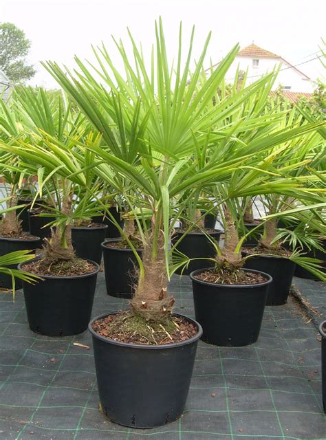 palm trees www modagri gr