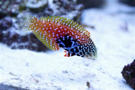 female vermiculate wrasse