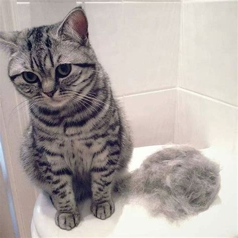 cat shedding a lot what you should about cat s shedding