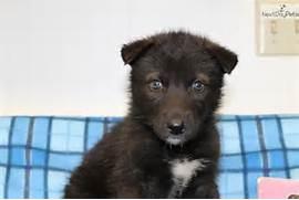 wolf hybrid wolf dog h...