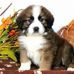 Bernese Mountain Dog Mix Puppies For Sale | Greenfield Puppies