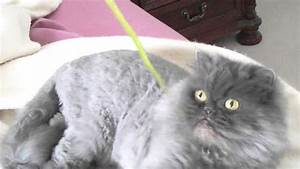 Blue Persian cat Lexi playing with a skinny leaf - YouTube