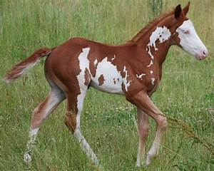 black tobiano | Icazo Chestnut Overo | Beautiful Horses ...