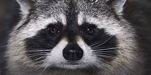 Racoon National Geographic