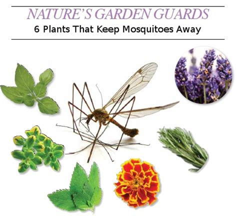 what keeps mosquitoes away nature s garden guards 6 plants that keep mosquitoes away home trends magazine
