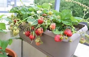 Faire Pousser Des Fraises : cultiver le fraisier semer la folie ~ Melissatoandfro.com Idées de Décoration