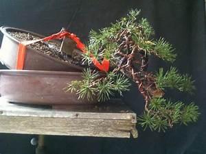 Gros Pot Pour Olivier : plier un gros tronc avec olivier barreau trucs et techniques forums parlons bonsai ~ Melissatoandfro.com Idées de Décoration