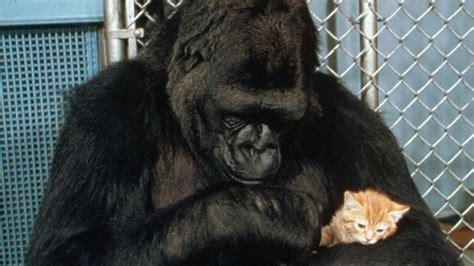 koko  gorilla  spoke  sign language  died