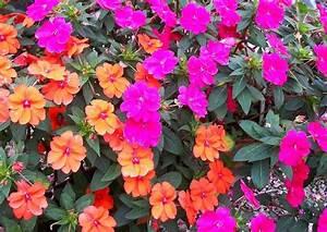 Blumen Für Schatten : impandiens walleriana neuguinea gruppe sunapatiens orange ~ Lizthompson.info Haus und Dekorationen
