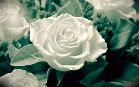 White Pretty Backgrounds by 25 Roses Background Wallpapers Images Pictures