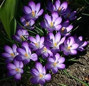 Wann Krokusse Pflanzen : blumenzwiebeln tulpen narzissen krokusse und andere ~ A.2002-acura-tl-radio.info Haus und Dekorationen