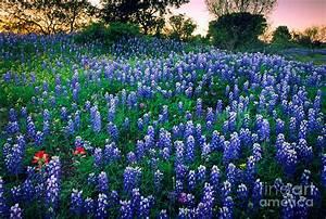 Texas Bluebonnet Field Photograph by Inge Johnsson