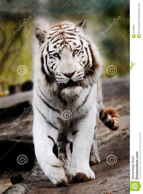 Beautiful White Tiger Stock Photo Image Down Tigress