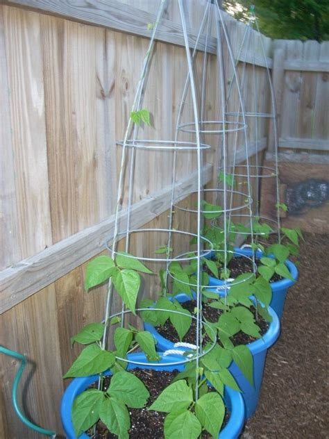 Best Place To Buy Trellis by 25 Best Ideas About Bean Trellis On Growing