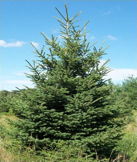 spruce trees black hills spruce evergreen trees gt chester county pa evergreen trees