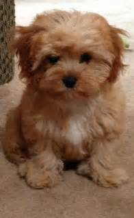 cavapoo breed 187 breed info pictures more