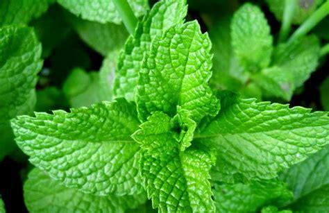 macam macam tanaman obat manfaatnya belajar berkebun