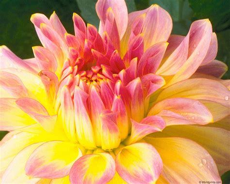 flower colors flowers dahlia
