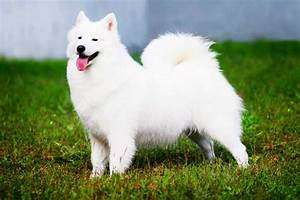 American Eskimo Dog Breed | Info | Characteristics ...