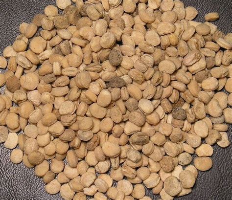 american seeds 100 ginseng seeds stratified american ginseng grow wild roots seed rootlets ebay