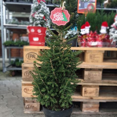 Weihnachtsbaum Im Topf Tipps Fuer Kauf Sorten Und Pflege by Santa Charmanter Weihnachtsbaum Im Topf O Du