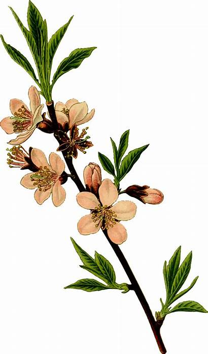 Almond Drawing Tree Flower Vector Botanical Clipart