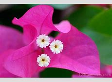 National Flower Of Grenada Bougainvilleas 123Countriescom