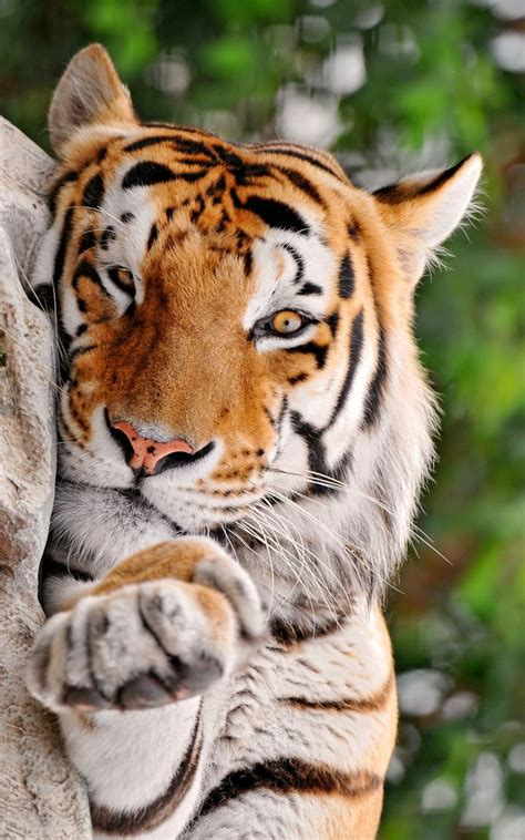 Come Little Closer Tigers Animals Cats