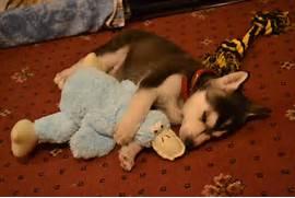 Pics Photos - Husky Puppy And Baby Sleeping  Adorable Husky Puppy Sleeping