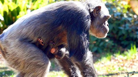 Baby Chimpanzee Born At The Dallas Zoo Nbc 5 Dallas Fort