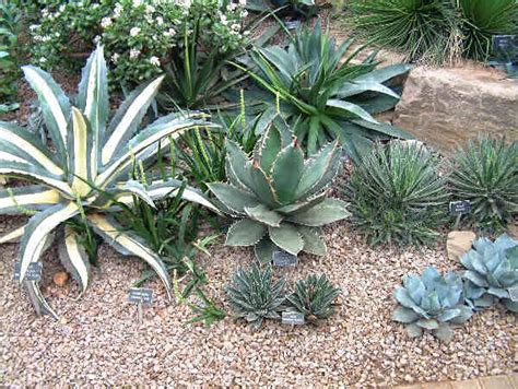 agaves plant how to grow agave from seed the garden of eaden