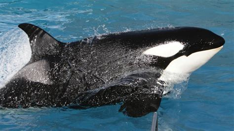 kalifornien seaworld orca kasatka wurde eingeschlaefert