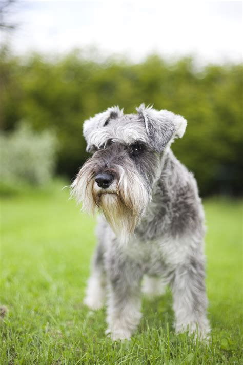 Schnauzer Shed by 20 Dogs That Don T Shed Much Hypoallergenic Breeds
