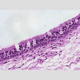 Pseudostratified Columnar Epithelial Tissue | 1600 x 1200 jpeg 255kB